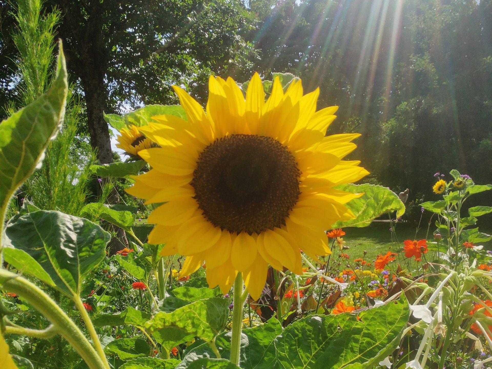 sunflower in munich garden