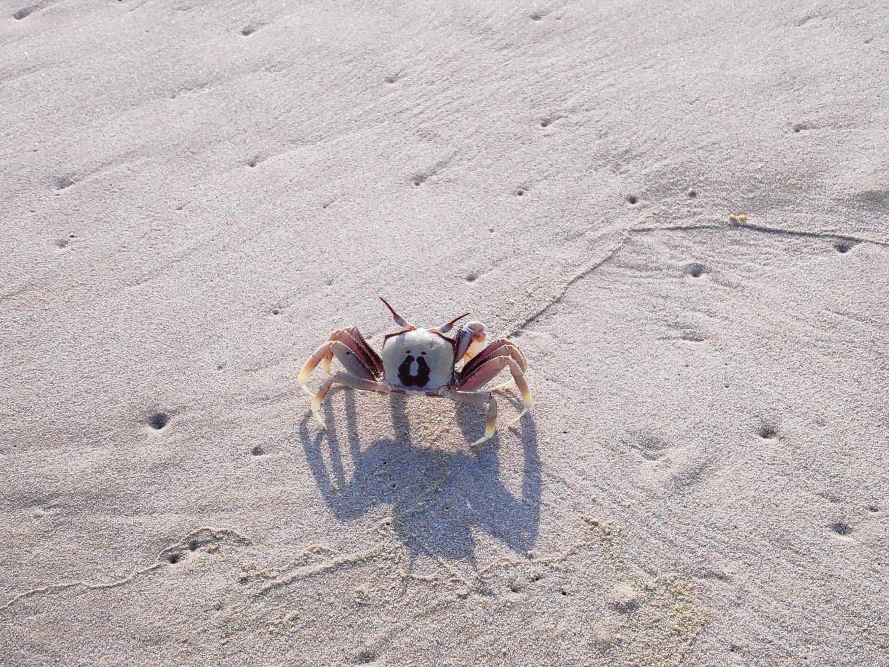 crab on the beach at cabarita